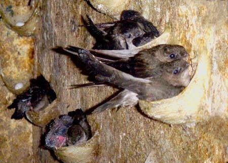 Kĩ thuật nuôi chim yến sử dụng công nghệ mới Malaysia